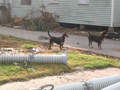 Puppies in yard of destroyed home