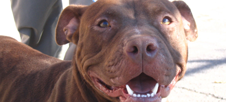 Free Pit Bull Spay-Neuter Program