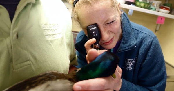 It was determined by MHS veterinarians that Daffy had a broken wing and is blind in one eye from a previous ulcer.