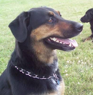 lost rottweiler shepherd dog   michigan humane society