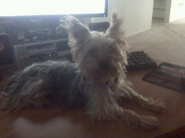 lost male toy yorkie!