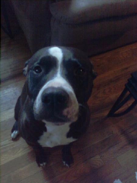 LOST BLACK AND WHITE PITBULLBlack And White Pitbull Dogs