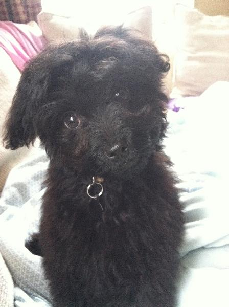 Lost small black dog! - Michigan Humane Society