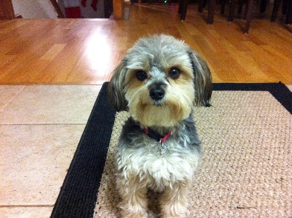 1000 Reward Missing Yorkiemaltese Mix Michigan Humane Society