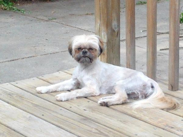 Lost Shih Tzu Michigan Humane Society