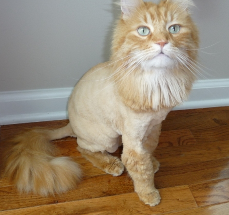 Cat Behavior After Lion Cut