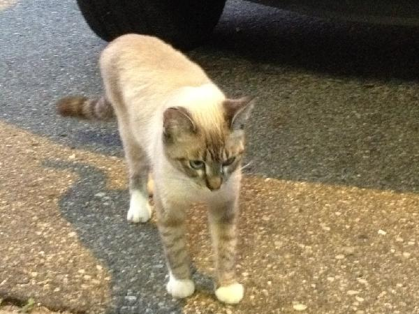 Less than year old Lynx Point Siamese found
