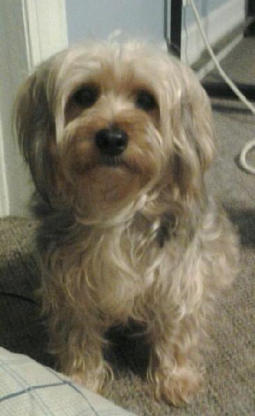 Missing Yorkie Poo Female Name Jesse Michigan Humane Society