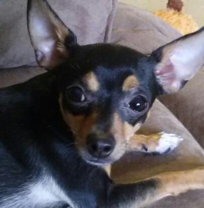 Missing Chihuahua Terrier Michigan Humane Society