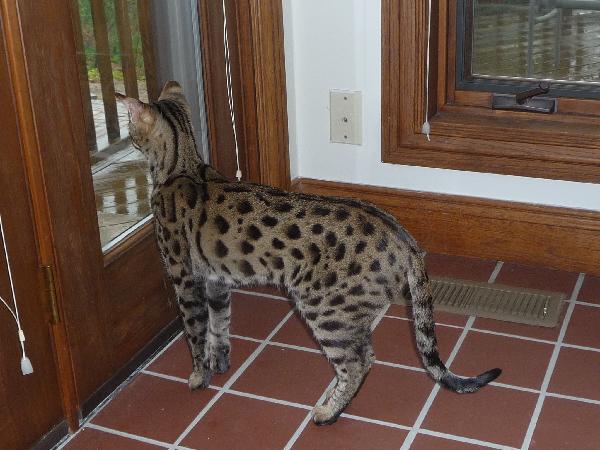 Bengal Cat Adoption Indiana