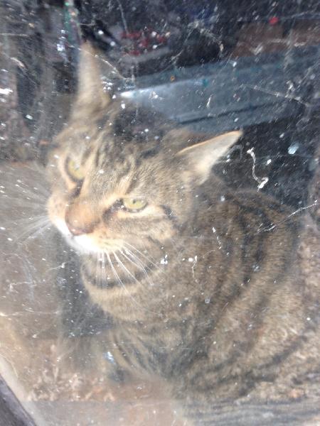 Found Cat Michigan Humane Society